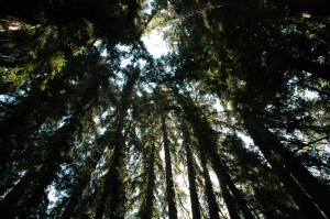 Redwood Trees at Reverie