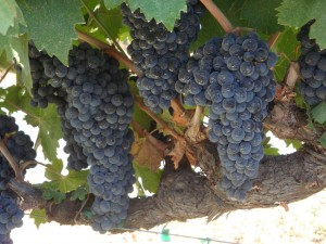Cabernet Grapes on Howell Mountain