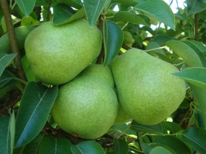 Lake County Pears