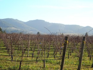 Coombsville Vines in January