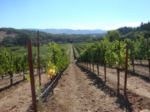 Ukiah Valley Grapevines