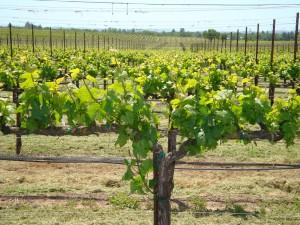 Grapevines at Benovia Winery
