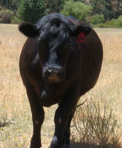 Lake County Cow